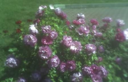 Rose baciate dal sole